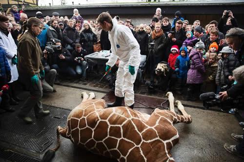 Kopenhagen am Sonntag: Die getötete Giraffe wird vor Zuschauern zerlegt. Dass...